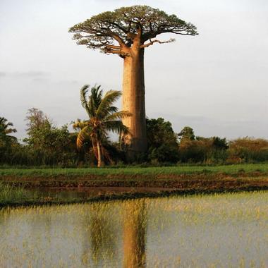 Le baobab