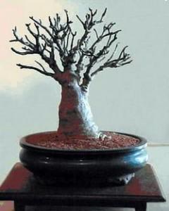 Baobab bonsaï en pot, le baobab est un arbre à feuille caduc