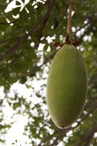Le fruit de baobab bio aussi appelé le pain de singe