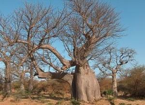Le baobab Adansonia digitata