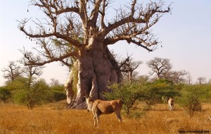 Le baobab adansonia digitata du Sénégal qui produit le pain de singe bio