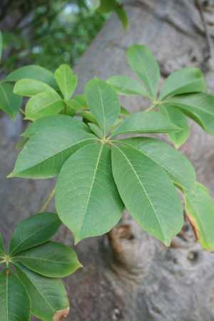 La feuille de baobab bio très antioxydante utilisé dans la médecine traditionnelle.