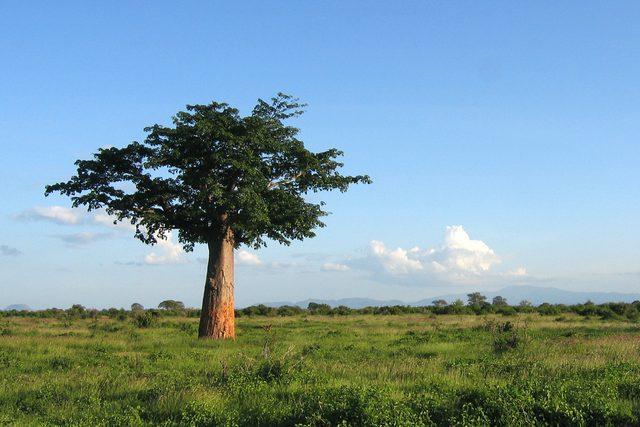 Le baobab sauvage d'Afrique avec lequel on produit la poudre Baomix
