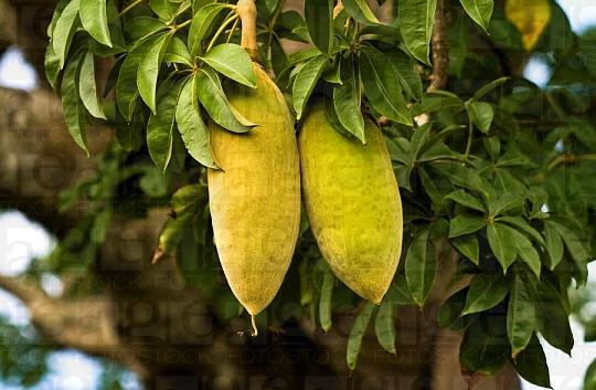 Le fruit du baobab sur l'arbre, ça pulpe est riche en antioxydant naturel puissant